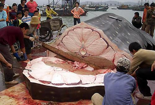 balena me e madhe ne bote