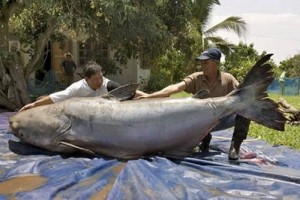 peshku me i madh ne bote
