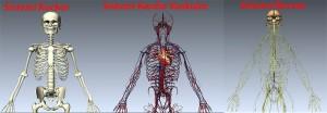 sistemi kockor sistemi kardiovaskular sistemi nervor